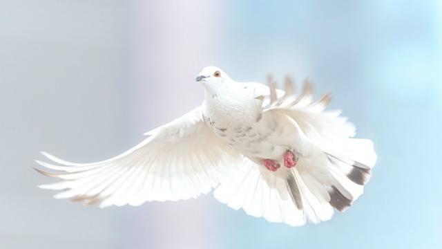 白鴿,聖靈作工